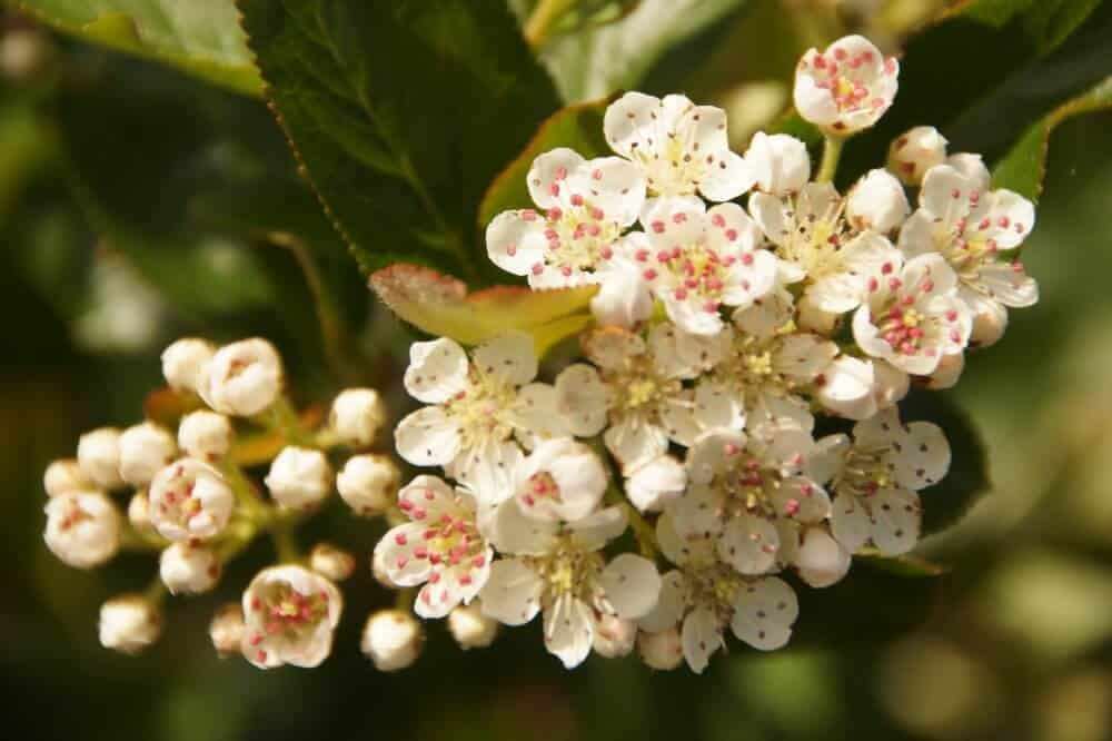 Aronia blomster