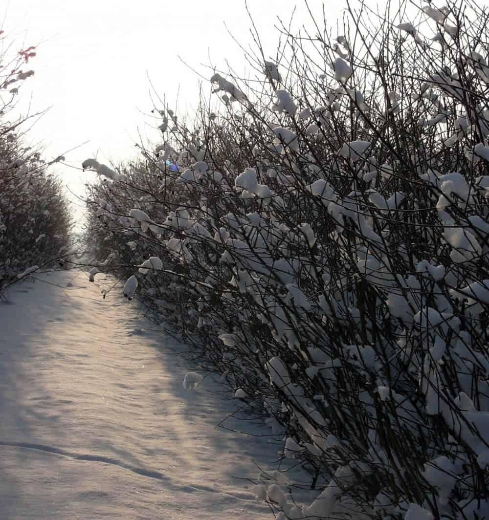 Aroniabuske i vintertilstand.