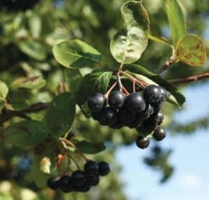 Modne aroniabær fra vores plantage smækfyldt med bioaktive indholdsstoffer