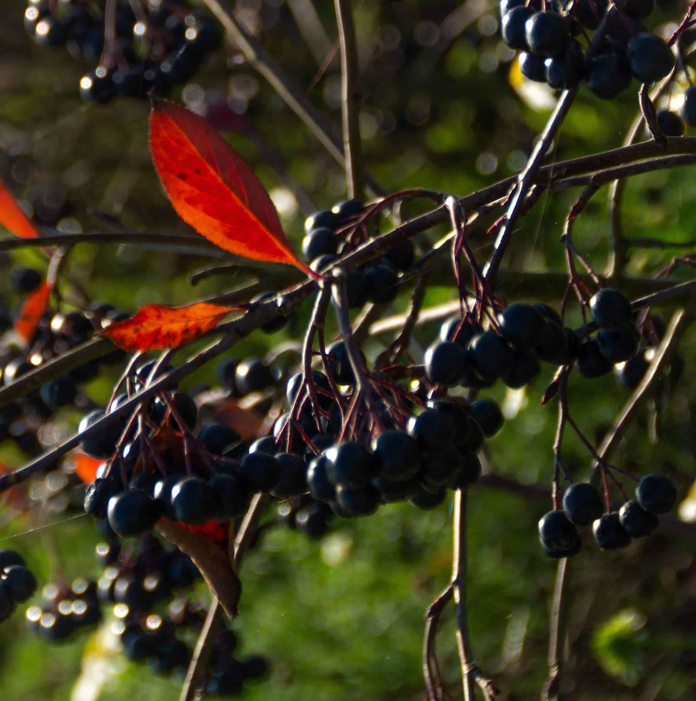 aronia bær elkærholm