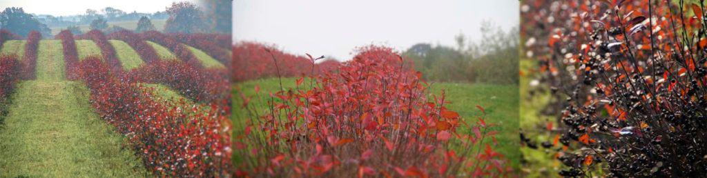 Aroniabuske i flotte høstfarver