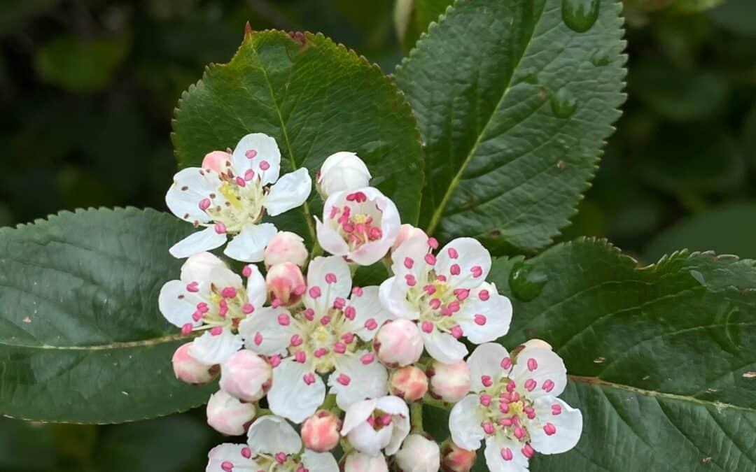 Aroniabuskene blomstrer på tirsdag – skal du med?